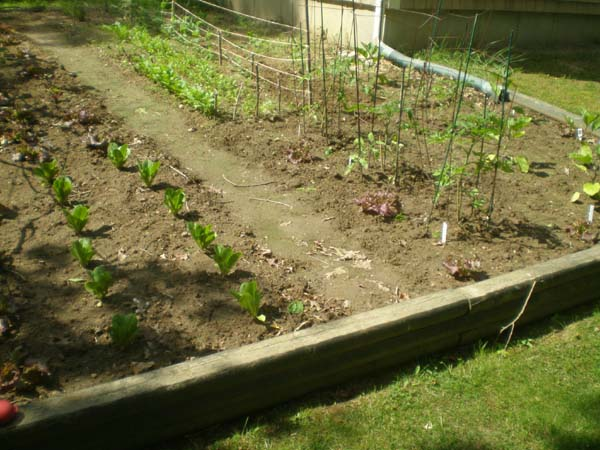 a view of my garden: lettuce, tomatoes, eggplant, etc.